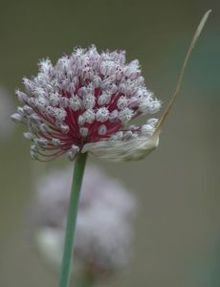 220px-Garlic_flower_head