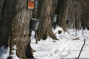 800px-Maple_sap_buckets_-_Beaver_Meadow_Audubon_Center